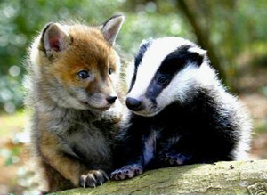 Baby-fox-and-baby-badger
