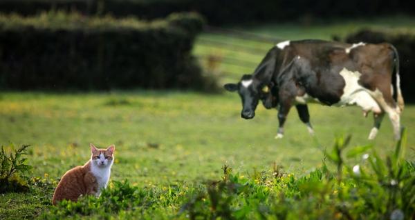 cat cow in field